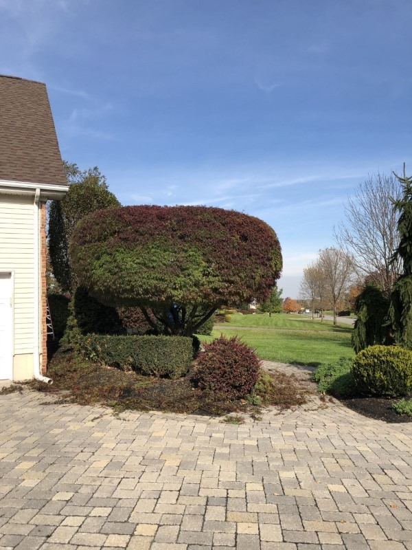 Japanese Maple Trimmed and Pruned in Ringoes, NJ