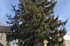 spruce-tree-and-stump-removal-somerville-nj-001