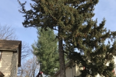 spruce-tree-and-stump-removal-somerville-nj-002